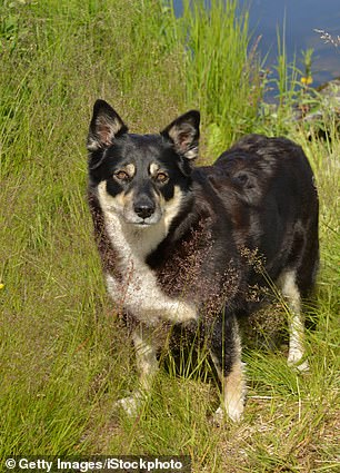 Lapponian herder dogs (pictured) are the third least likely dog breed to be aggressive