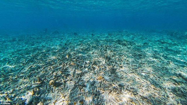 Researchers, working with the cat food company Sheba, are using 'Reef Stars' to recover 45 acres of coral in Indonesia's Spermonde Archipelago , which had s decayed to a 'killing field' of just rubble
