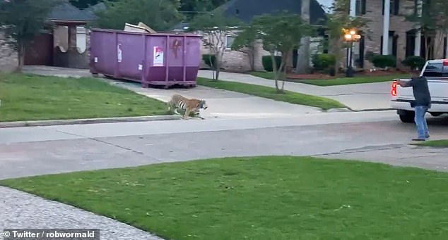 A tiger was on the loose in the quiet residential neighborhood of Ivy Wall Drive in West Houston on Sunday night