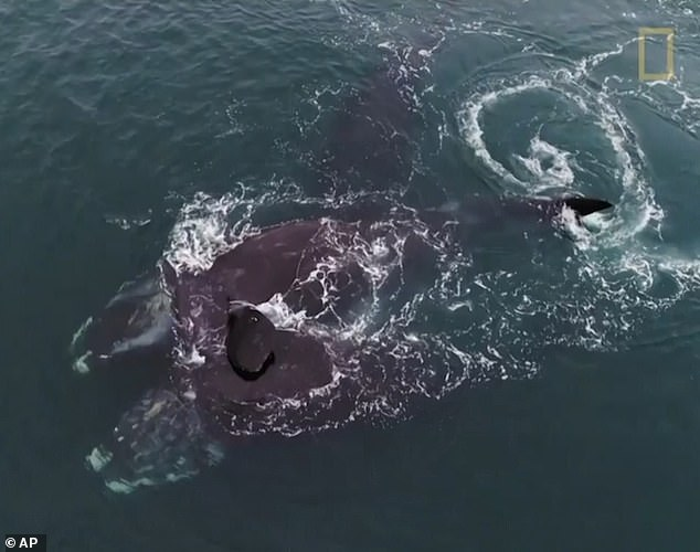 The researchers were using drones to count right whales and assess their size and overall health when they captured the incredible footage