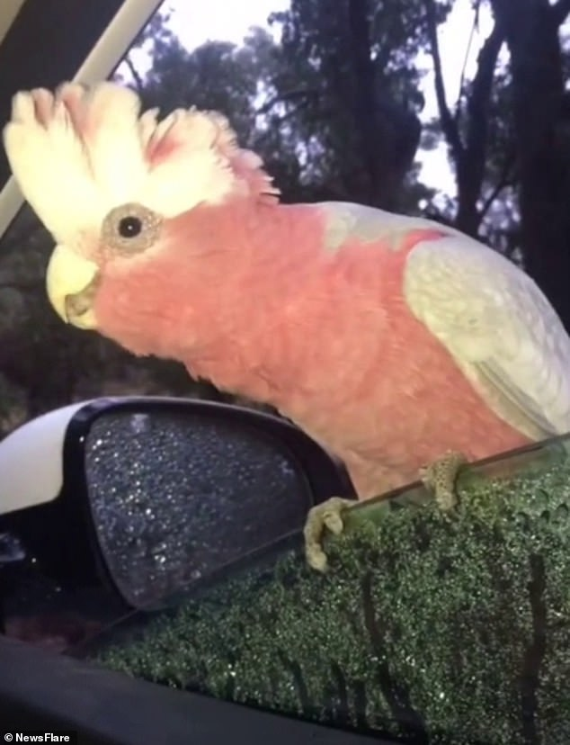 Amber, from Macdonnell in the Northern Territory, was on her way to work this week with her young child when the bird named 'Gilly' stopped by to perch on her windowsill