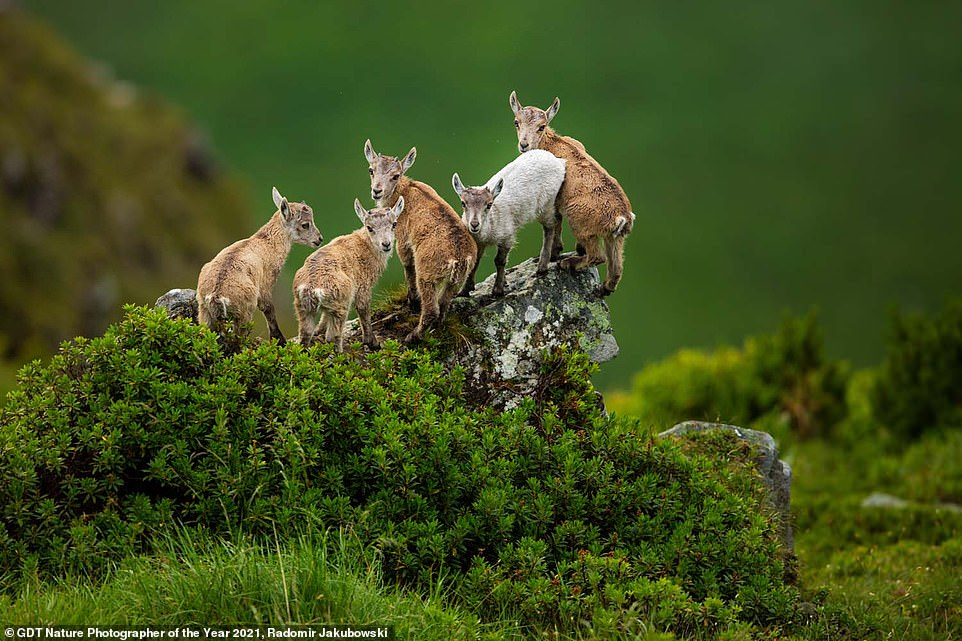 Radomir Jakubowski from Germany took this shot of Ibex huddled together on a verdant hillside in the Alps and took home the accolade of ninth place in the We Are Family category