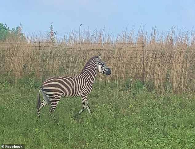 Teacher Ashley Danielle Francis snapped this photo of the zebra on her way toPrescott South Middle School after it escaped from theTriple W Alternative Livestock Auction facility
