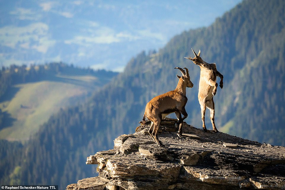 Runner-up in the under-16 competition is Raphael Schenker with this spellbinding image of a pair of fighting goats. He explains: 'I took this picture while on a long hike in Graubunden, Switzerland. I saw how the father of these two mountain goats was teaching them how to fight'