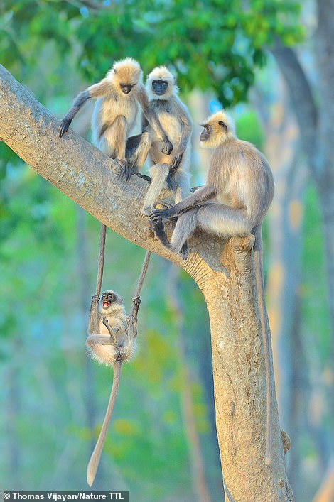 Another amazing image by Thomas Vijayan - this time taken in Bandipur National Park in India. He says: 'One afternoon a group of black-footed grey langurs were sitting on a tree. A playful infant was enjoying the family time and was playing with his parents by swinging on their tails and falling down, and then immediately climbing back and starting all over again. His mother was taking little notice of the activity and other adolescents were tolerating the attention-seeking acrobatics.' The snap is highly commended in the animal behaviour category