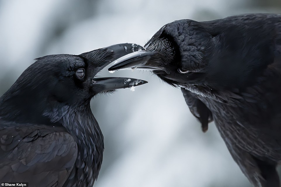 Shane Kalyn, a self-taught photographer who works as a fisheries technician with the Canadian government, is the man behind this incredible image. It came out on top in the Winged Life category. bioGraphic revealed: 'Common ravens usually mate for life, and this intimate, open-beaked moment captured by Shane Kalyn is likely an example of allopreening - reciprocal grooming that serves both to solidify social bonds and to keep plumage clean'