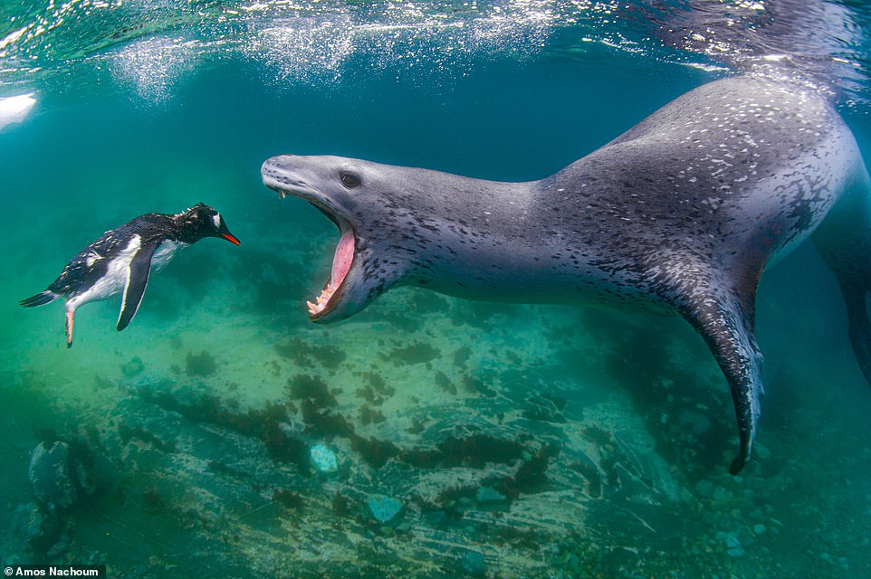 Taken at Pleneau Island in the Antarctic, this amazing image by US snapper Amos Nachoum was a finalist in the Aquatic Life category. It shows a leopard seal about to eat a Gentoo penguin. bioGraphic said: 'With their silky coats, big, dark eyes, and perpetual grins, leopard seals can look downright cuddly lounging on Antarctic ice floes. It's safe to say, though, that penguins have a different perspective of these powerful apex predators. Weighing up to 600 kilograms (1,320 pounds), with powerful jaws lined with sharp teeth, and long front flippers that propel them through the water at speeds up to 37 kilometres per hour (23 miles per hour), leopard seals are capable of catching and subduing a wide range of prey'