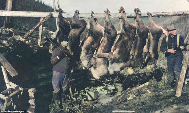 Hunters slung rifles over their shoulders as they stand in front of a rack of caribou carcasses. The current caribou population in Alaska hovers at 750,000. To this day, 99% of Alaska still remains unexplored and untouched, making it the perfect home for a large number of species of wildlife to thrive. Moose are incredibly common throughout much of the state, as are mountain goats and Dall sheep. Wolves, coyotes and mountain lions roam the interior, and large herds of caribou migrate across the extreme northern regions. Along the coast, dolphins, seals, walruses and at least a dozen varieties of whales (humpbacks, belugas, killer and blue) can be spotted