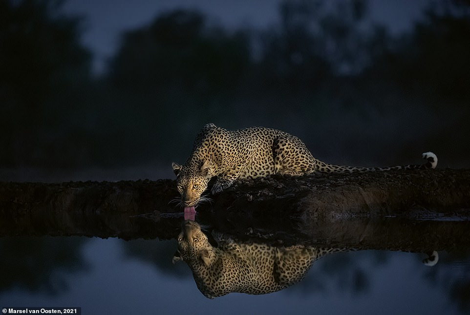 Marsel snapped this striking photo after spending a 'long afternoon in a hide next to a waterhole in the remote eastern corner of Botswana'. It was getting too dark to take pictures but he adds: 'As I was packing up, a leopard came down to drink and I quickly got my camera out again. I used a small headlamp and bumped up the ISO to 51200 to get this shot'