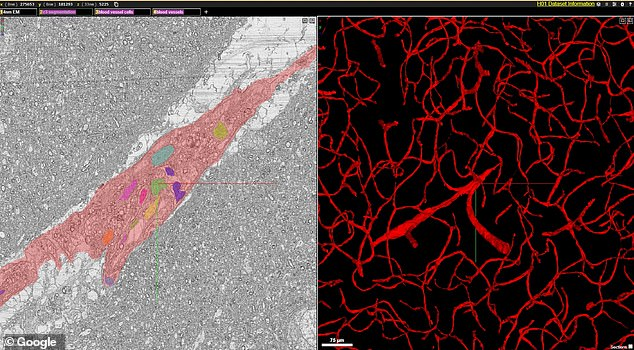 The map includes tens of thousands of reconstructed neurons, millions of neuron fragments, 130 million annotated synapses and additional subcellular structures, including axons, cilia, dendrites and myelin. Pictured: Blood vessels traced throughout the volume