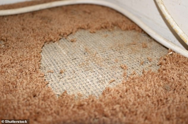 Moth-eaten carpets may be a common sight from summers past.It's actually the moth's larvae that eats natural materials in capets and clothes