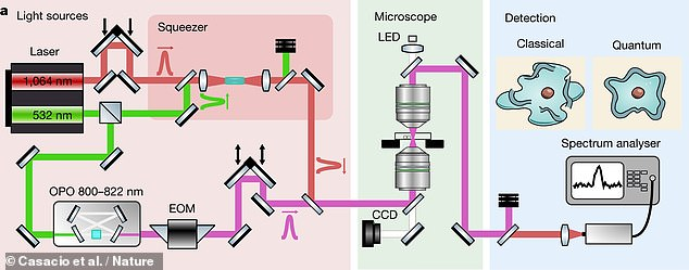 Using entangled photons allows more information to be recovered per single photon — meaning that noise can be lessened without raising light intensity and damaging the biological samples being studied. Pictured: a diagram of the microscope's workings