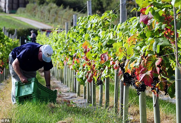Numbers of seasonal workers applying to work at one Kent-based company are down 90 per cent in the last two years and there are fears for the future (file photo)