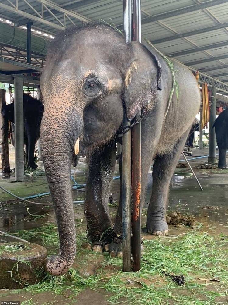 Emaciated elephants 'so weak they were held up by chains around their necks' are discovered at Thai animal camp by shocked tourists