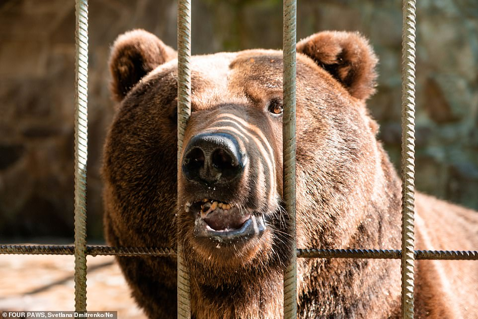 A brown bear family which was kept in captivity for years in a defunct hotel in Ukraine was rescued and brought to a bear sanctuary by activists from the global animal welfare organisation FOUR PAWS