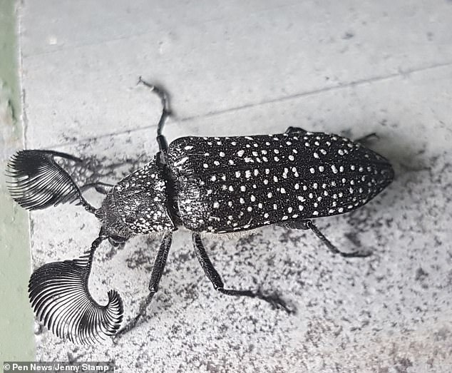 The insect was found in Australia