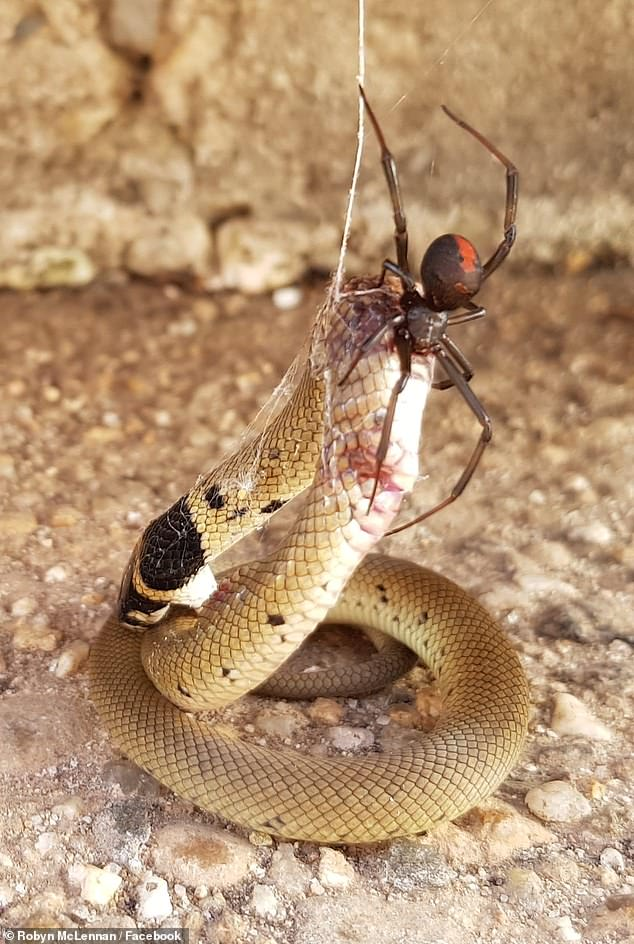 The spider can paralyze a snake with a bite, but a snake's fangs are impractical against such a tiny foe. Pictured: A red back spider takes down a deadly Australian brown snake