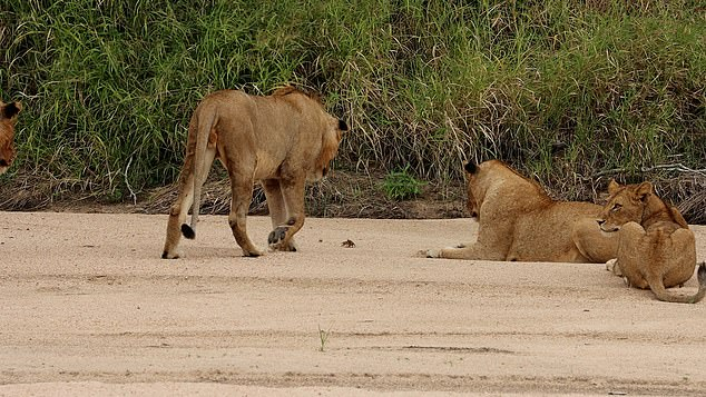 In the video, the tiny crab carried on retreating to its burrow in the river bank keeping the lions at bay single-clawed until it could escape down its hole to safety