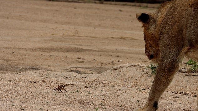 A feisty four-inch crab (pictured) impressively managed to keep a pride of man-eating lions at bay after coming claw-to-claw with them at the MalaMala Game Reserve in South Africa