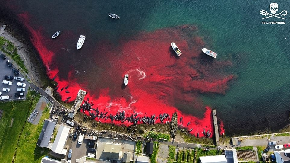 Sea Shepherd sent a drone to film the hunt, revealing how the sea turns a deep red from all the whale blood shed along the shore. The drone was shot at by a gunman who they say was the foreman of the hunt at Hvannasund