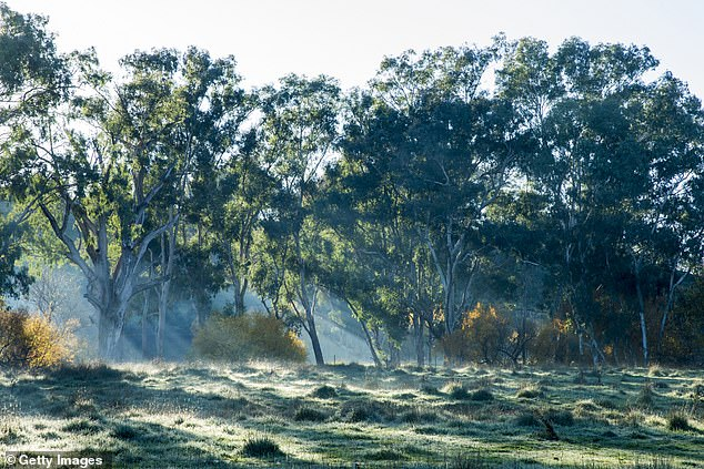 Australia's east coast shivered through the longest May cold streak in half a century, with temperatures plunging to single digits in major cities (stock image of a frosty paddock near a small country town of Tumut in New South Wales)