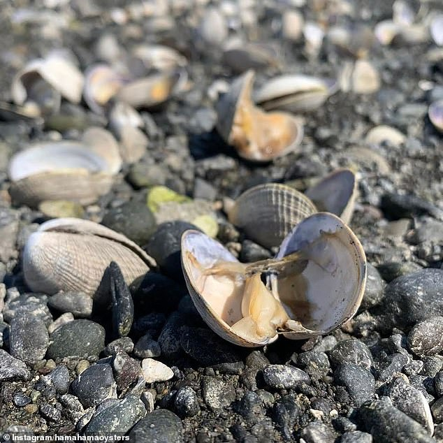Along with the heatwave, the area had the lowest tide in 15 years. So when the clam shells were open, the meat was left exposed