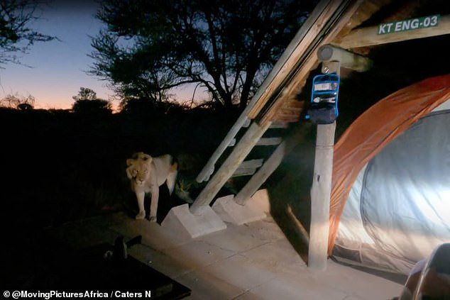 The 'curious' lion refused to leave the pair's campsite, scuppering any chance they had of watching the early morning sunrise