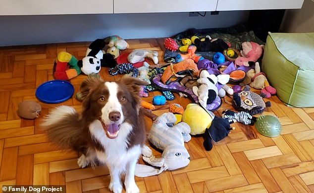 Pictured, Gaia, a Border Collie involved in the study, owned by Isabella Imiguel in Brazil. Researchers found Border Collies were the best learners