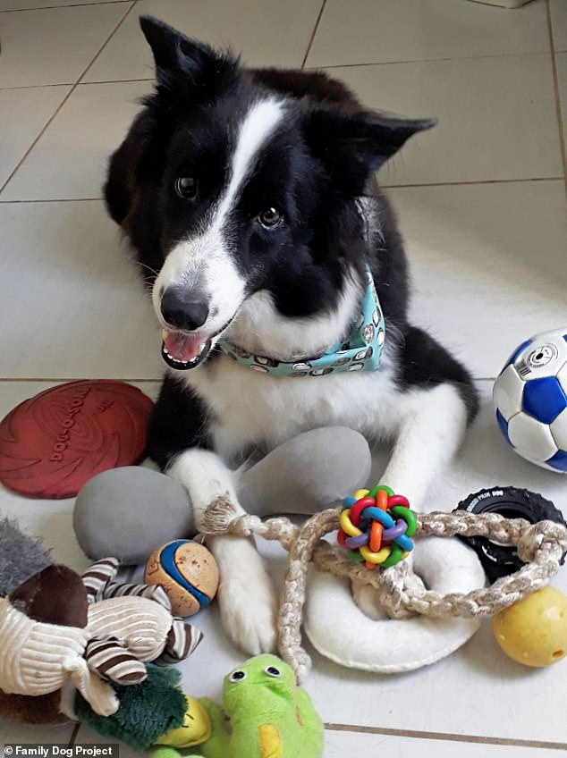 Oliva, a Border Collie owned by Mariana Cordivola in Brazil. Sadly, Oliva passed away before the end of the study