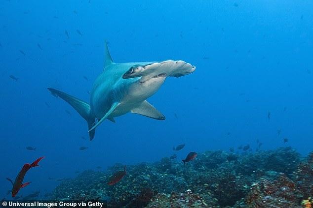 Scalloped hammerhead shark (pictured).Scalloped hammerhead peaked around 10 pm