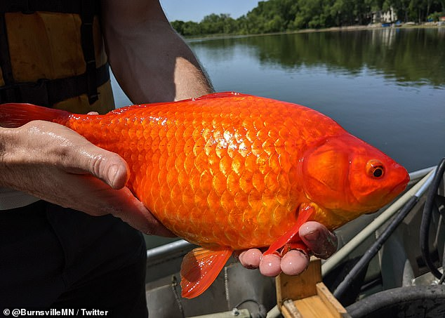 The average goldfish, when kept in small aquariums, grows no more than two inches long, but city officials of Burnsville, Minnesota are pulling some out of a nearby lake that are the size of a football