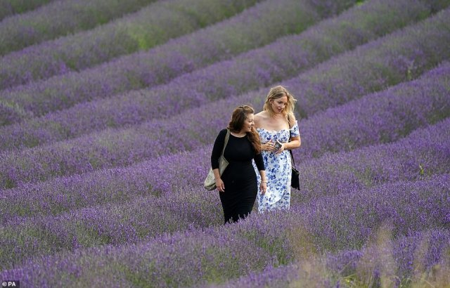 It will make the UK hotter than holiday hotspot Crete, where the weekend will bring highs of 71.6F (22C). Pictured: Locals walking through lavender fields in Sussex