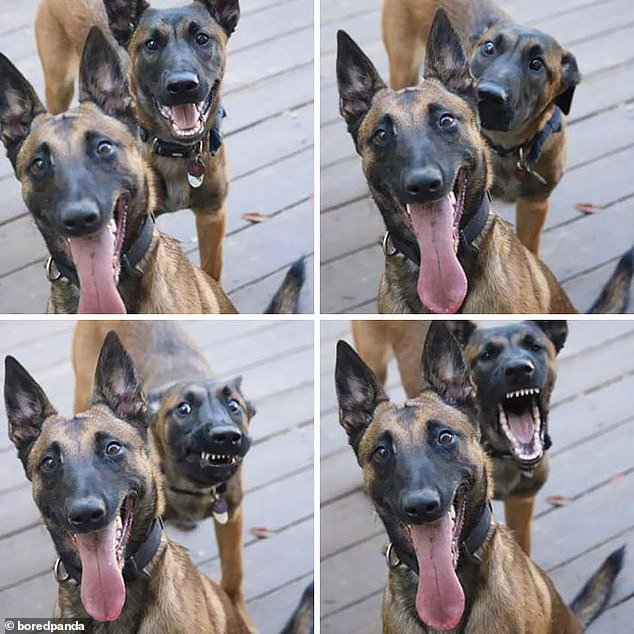 He's behind you! One very happy dog was photobombed by another, who pulled numerous faces behind the other's back