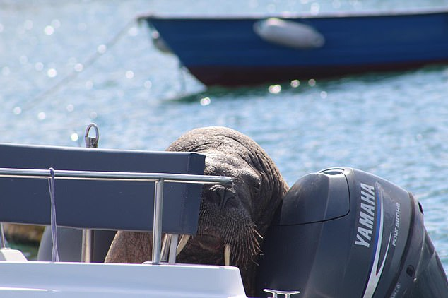 Harbour authorities and wildlife volunteers have now brought in a pontoon where Wally can relax undisturbed and cause less trouble before he heads off to more familiar Arctic waters