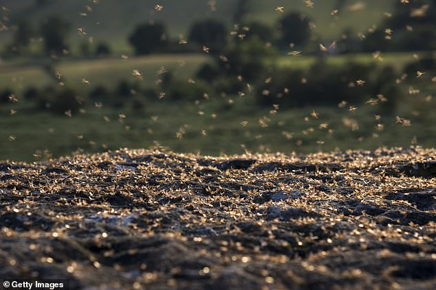 Experts from pest control firm Rentokil, say 'flying ant day' is the period when the insects begin to emerge from their nests to mate, coinciding with summer heat