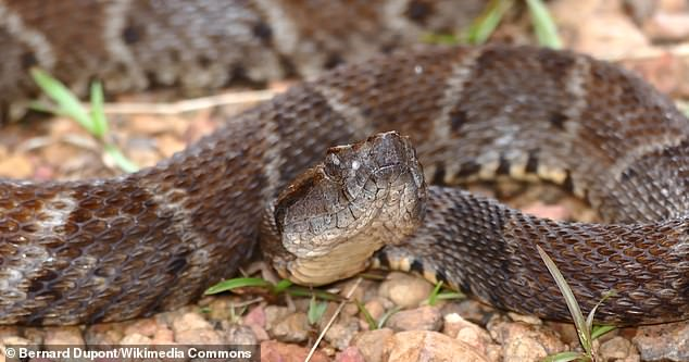 Scientists created a type of 'super glue' adhesive that sticks to body tissue to prevent life-threatening bleeding.The adhesive uses the blood clotting enzyme found in the venom of lancehead snakes (pictured)