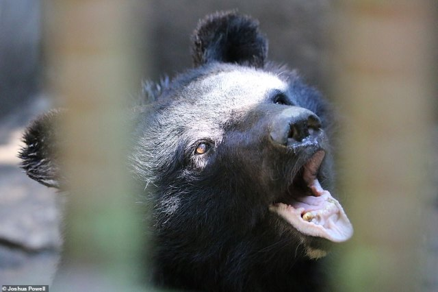 Although bear farming has been illegal in South Korea since 1992, more than 300 bears remain in captivity on the farms and PhD student Joshua Powell tells MailOnline that this has meant that 'some illegal harvesting of bear parts is thought to continue on some of the farms - and some seem to still be illegally breeding bears'