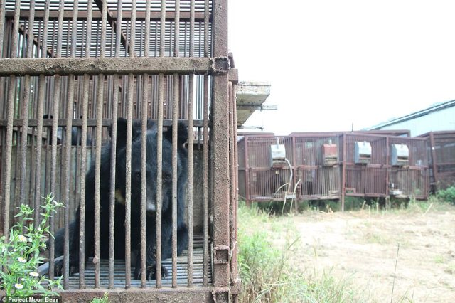 In a bid to help the bears that remain in captivity, Project Moon Bear is aiming to build a sanctuary to rehome the bruins