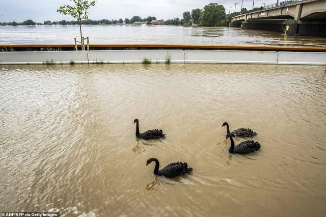 Swans swim in the high water of the Meuse river in Roermond, the Netherlands, after days of heavy rainfall