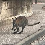Lanarkshire wildlife park staff launch urgent hunt for fugitive wallaby escaped from enclosure 💥👩💥