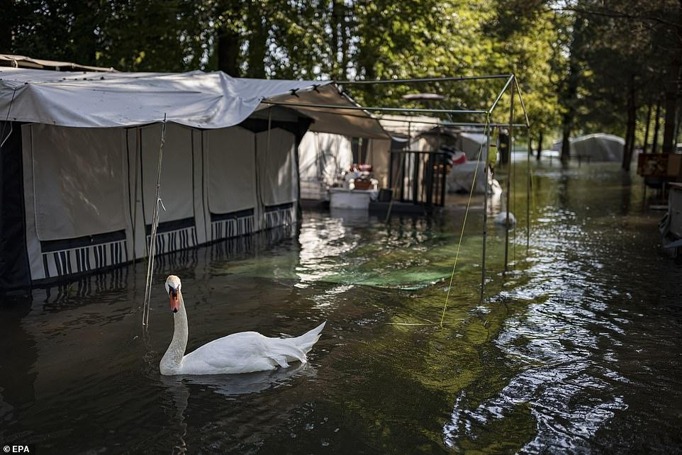 Swans swim through a flooded campsite on the eastern shore of lake Neuchatel, Switzerland