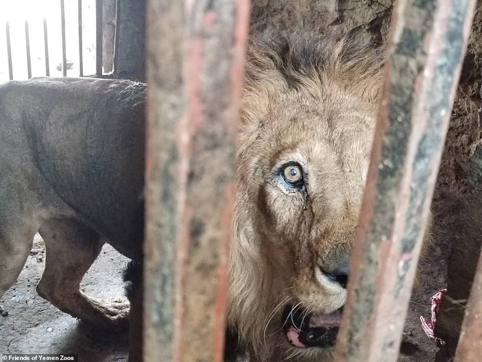 Staring from behind rusted bars in a dirty cage, these are the three lions who are 'close to death' after being reduced to skin and bone in the middle of war-torn Yemen. Pictured: The lion named Frence