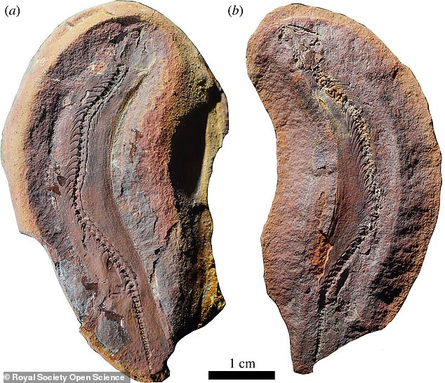Ridges were found on the fossil, similar to the scales of modern reptiles, questioning the earlier idea that microsaurs were amphibians (which do not have scales).