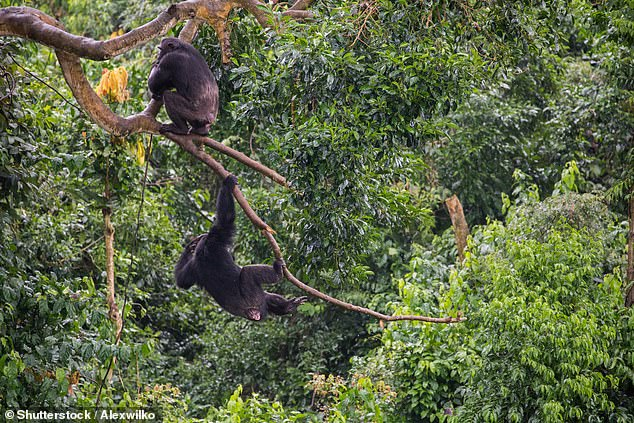 The scientists believe the aggression from the other chimpanzees is due to the fact that the baby albino looks different from the rest of the pack (stock)