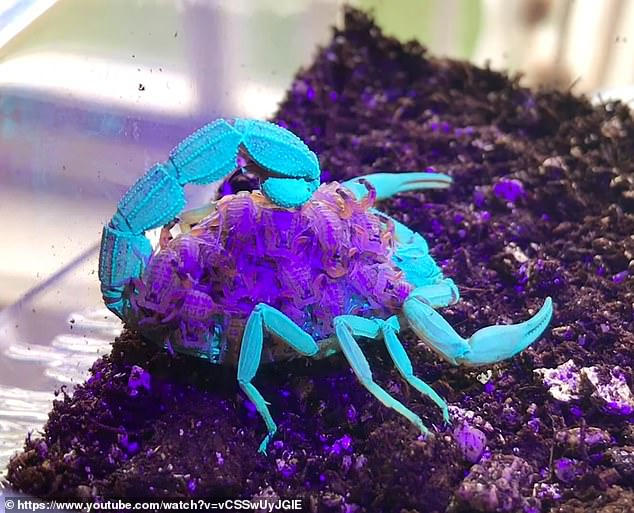 The 14-second clip shows a brownish female scorpion carrying dozens of babies on her back, which are the same color, but when a UV light shines, the group glows with unnatural electric colors