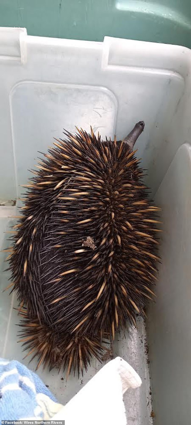 WIRES Northern Rivers confirmed that the animal had been examined with no injuries after the disaster and that it had been released into the wild well away from the store