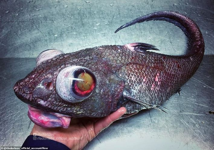 Pictured: A scaled fish caught byRoman Fedortsov. He holds its head up to photograph it, with its eyes bulging.Fedortsov scours for cod, haddock and mackerel on commercial trawlers but also catches a variety of bizarre-looking sea creatures
