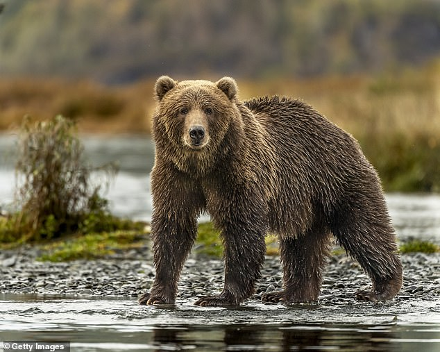 The man claimed he was terrorized by a grizzly bear, like the one you see here, that dragged him to the river and came back to his cabin every night for a week.