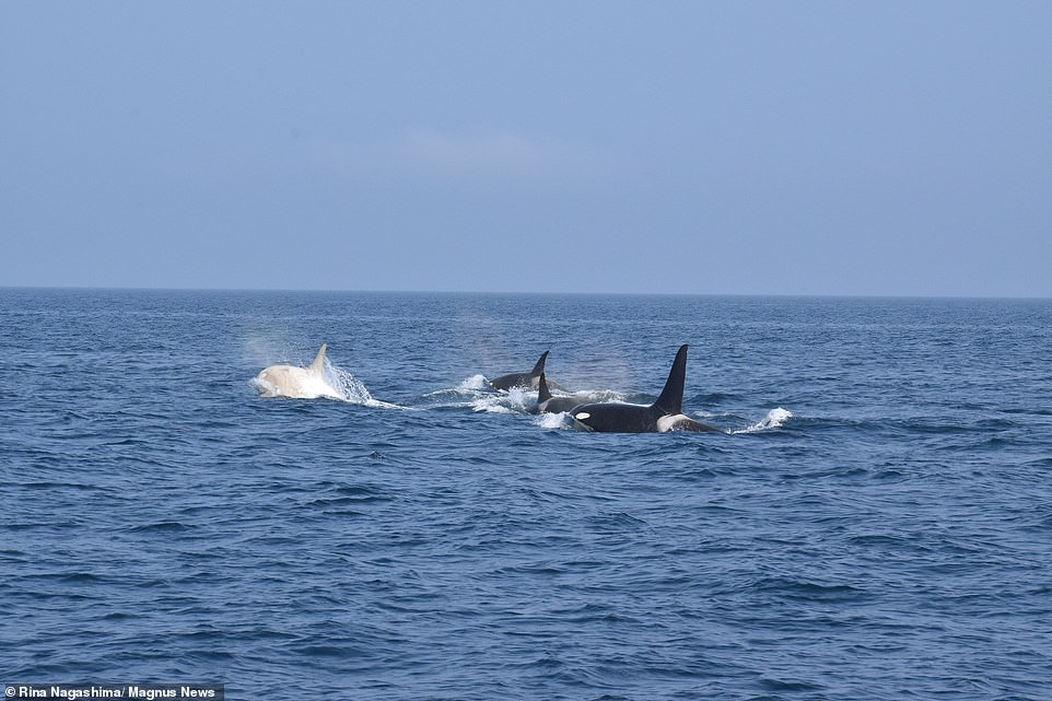 One of the white orcas is seen swimming alongside three other members of its pod which all have the typical white and black markings that are common to the species