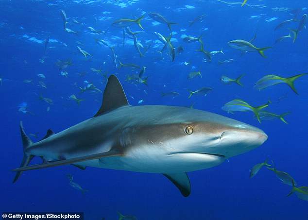 Sharks that normally swim in warmer waters have trekked north due to climate change, including the blacktip reef shark (pictured)